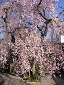 140328_五條市桜