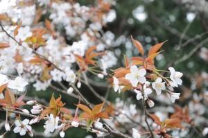 140403_吉野山桜