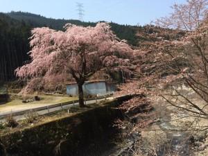140410_黒滝桜1