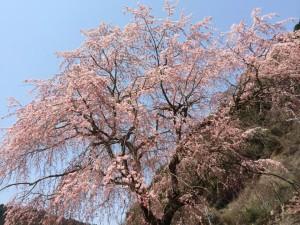 140410_黒滝桜2
