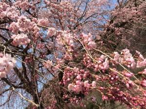 140410_黒滝桜3
